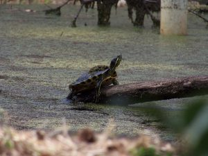 turtle climbing out of the pond scum off the roller coaster